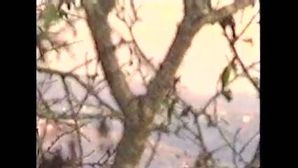 כי האדם עץ השדה - החרוב